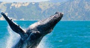 Avistamiento de ballenas, ¡dejate sorprender por la naturaleza en Nuevo Vallarta!