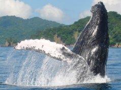 Temporada de ballenas   disfruta de este espectaculo natural en las costas de Punta Mita